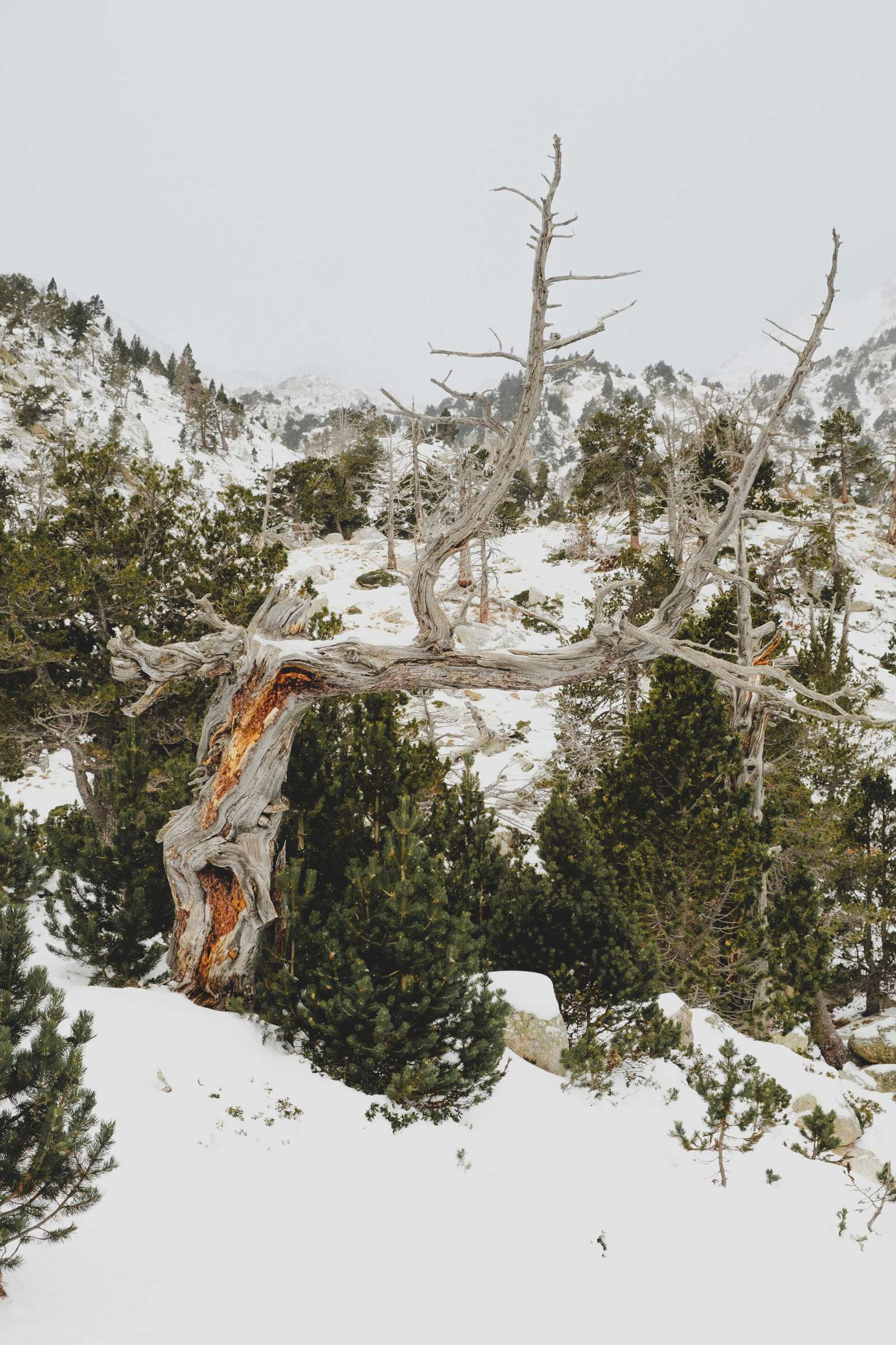 Scorched tree in the snow