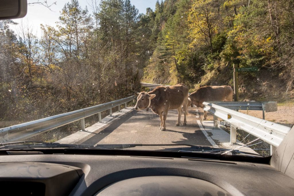 Cow blocking the road on the way to Ripoll, Catalonia