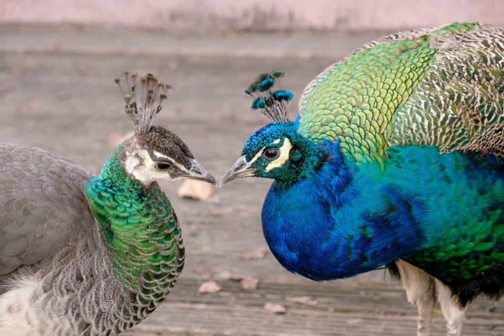Peacocks kissing in Jardins do Palacio